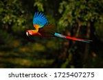 Hybrid Parrot Ara Macao X Ara...