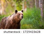 Brown Bear  Ursus Arctos  On...