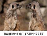 Meerkats Standing  Face To Face....