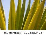 vertical leaves of aloe vera...   Shutterstock . vector #1725503425