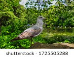 Brown Seagull In St Stephen\'s...