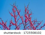 Purple Flowers On Branches Of...