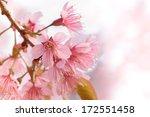 pink cherry blossom sakura | Shutterstock . vector #172551458