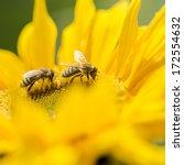 Two Honey Bees  Apis Mellifera...