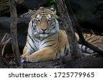 Siberian Tiger Taking A Rest