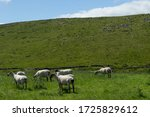 A Herd Of Sheep Grazing In A...