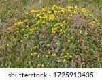 Yellow Furze And Purple Heather ...