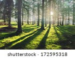 Larch Forest With Sunlight And...