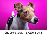 nice jack russel terrier dog is ... | Shutterstock . vector #172598048