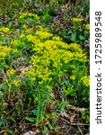 Small photo of flower cypress spurge (Euphorbia Cyparissias) on meadow. Euphorbia cyparissias, the Cypress spurge, is a species of flowering plant in the Euphorbiaceae family