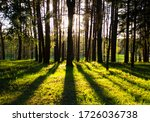 Forest. Sunset Time In The...