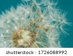 Close Up Of Dandelion Head And...