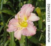Ruffled Pink Daylily Reaches...
