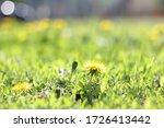 yellow dandelion in the grass.... | Shutterstock . vector #1726413442