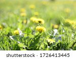 yellow dandelion in the grass.... | Shutterstock . vector #1726413445