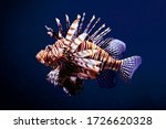 Lion Fish Are Fabulous And...