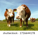 Brown Beef Cattle Hereford Cow...