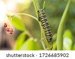 Monarch Butterfly Caterpillars...