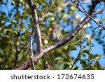 common redpoll | Shutterstock . vector #172674635
