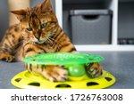 Playful Purebred Bengal Cat...