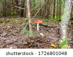 Red Fly Agaric Mushroom In The...