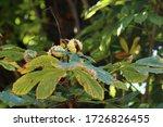 Horse Chestnut  Aesculus...
