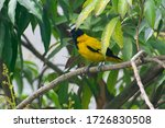 The black hooded oriole is a...