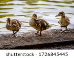 Three Ducklings Standing At The ...