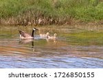 Canada Goose Adult With Two...