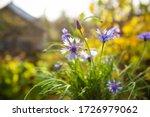 Bouquet Of Blue Cornflowers In...