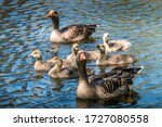 Goose Family Swimming On A...