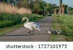 Mute Swan  Cygnus Olor  Crosses ...