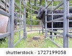 Black cow in chute on farm with blurred fence in foreground, working cattle concept.