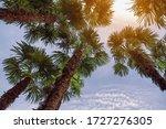 Fan Palm Trees   Washingtonia...