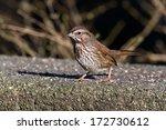 song sparrow   shot at... | Shutterstock . vector #172730612