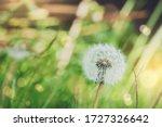 Soft Focus Dandelion Seedhead...