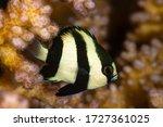 Small photo of humbug dascylus damselfish damsel fish