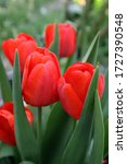 Red Tulip Flowers In The Garden