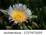 white furry flower with a yellow core in the sun