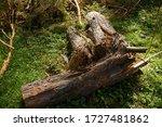 The Old Tree Is Broken  Fallen...