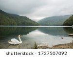 Image Of A Swan On A Lake In...