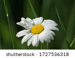 Daisy With Raindrops And Some...