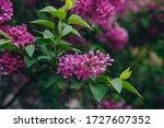 Lilac Flower Pink Spring...