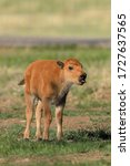 Baby Bison Calf Vertical...