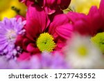 Pink Violet Chrysanthemum With...