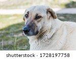 The Kangal Shepherd Dog Sitting ...