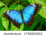 Beautiful Blue Morpho Butterfly ...