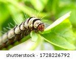 Caterpillars Are Feeding On...