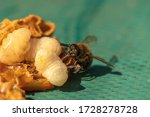 Bee and bee larvae  macro. bee...