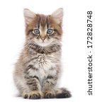 Stock photo small gray kitten on a white background 172828748